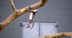 Hanging Around (Keith Mac Uidhir  (Thanks for 3.5m views)) Tags: ireland dublin animal zoo monkey irland swing ape swinging primate dier animalia tier dublino irlanda irlande ierland irska dubln irlandia lirlanda irsko  airija irlanti  cng  iirimaa ha     rorszg         rlnd