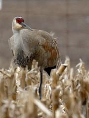 Sandhill Crane (Uniquely Nidge) Tags: birds outdoors crane wildlife sandhill sandhillcrane largebirds 7dii 100400ii