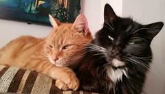 Taz and Neo.... (julzz2) Tags: pets animal animals mycats felines gingercats pussycats animalfaces blackandwhitecats playingcats catfaces sunnycats felinefaces petsfaces blackcatsfaces