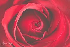 3K7A4329 (crazydawn2) Tags: red flower rose petals