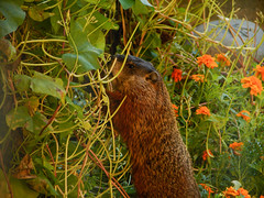 Woodchuck happily eating the heads off my flowers (avatarsound) Tags: garden rodent wildlife woodchuck groundhog whistlepig
