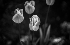 IMG_0188 (Nikan Likan) Tags: auto white black paris flower color field vintage lens reflex bokeh f14 55mm tulip m42 manual rime depth | 2016 porst