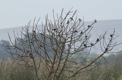 rbol de golondrinas , Swallow Tree...how many are there? (Pabloskino) Tags: chile blue tree green reunion birds fauna de nikon exposure many flock central aves rbol salida multiple swallow tamron litoral sudamerica chilean terreno gather chilena golondrina hirundinidae tachycineta bandada tachycinetameyeni unorch meyeni d7000 numeroso 70300vc