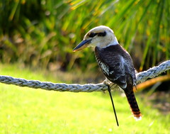Kooka (Grenzeloos1 - thanks for 5 million+ views!) Tags: bird airliebeach kookaburra