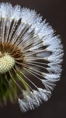 Half-Circle (curious_spider) Tags: macro wet waterdrop seed dandelion droplet raindrop