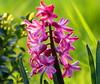 Einen schönen, stressfreien Freitag allen, (isajachevalier) Tags: natur pflanze garten frühling hyazinthe