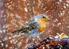 April Robin. (mortimer.adrian) Tags: snow colour detail bird eye nature robin animal spring outdoor feathers
