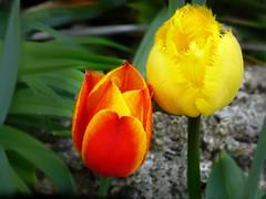 Tulpe gelb-rot (dorisgoebel) Tags: red flower rot yellow tulips natur gelb blume tulpen