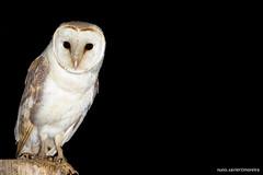 Coruja-das-torres, Barn Owl (Tyto alba) (xanirish) Tags: ngc barnowl tytoalba corujadastorres commonbarnowl barnowltytoalbaemliberdadewildlifenunoxavierlopesmoreira