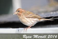 """Western"" Purple Finch (rjm284) Tags: male birds washington birding wa neahbay sy molting californicus pufi rjm284 westernpurplefinch"