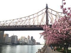 Feelin Groovy (Pabo76) Tags: nyc bridge flowers cherry spring gothamist rooseveltisland queensboro 59thstbridge