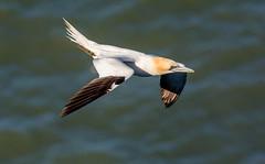 JWL9664   Gannet..... (jefflack Wildlife&Nature) Tags: nature birds countryside wildlife gulls ngc npc avian seabirds waterbirds gannet shorebirds wildbirds coastalbirds