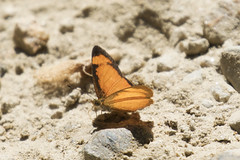 Black-bordered Crescent (Tegosa anieta) (Nymphalidae, Nymphalinae) (S Whitebread) Tags: butterfly colombia santamarta nymphalidae nymphalinae proaves blackborderedcrescent tegosaanieta