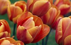 couleurs de printemps (vincent alexandre bourzeix) Tags: flowers red rouge bokeh jardin parc printemps nantes springtime tulipes