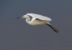 Little Egret ( egretta garzetta )   - Gliding in to land !! (Mid Glam Sam1) Tags: wales inflight fishing estuary coastal gliding egret littleegret egrettagarzetta