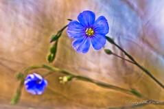 Blue (brady tuckett) Tags: flowers blue light plant flower color macro nature colors leaves leaf flora bokeh grlitz 100mm m42 macros brady meyer tuckett photosynthesis trioplan m42mount m42lenses meyeroptikgrlitz meyeroptikgrlitztrioplan100mmf28 meyeroptikgrlitztrioplan bradytuckett