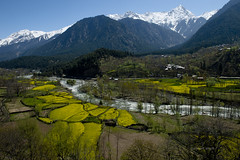 Mustard fields II (gurpreet_singh.) Tags: india mountain snow beauty field yellow heaven mustard kashmir jk pehalgam