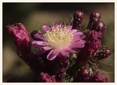 Dwarf Organ Pipe Cactus (gauchocat) Tags: arizonasonoradesertmuseum tucsonarizona