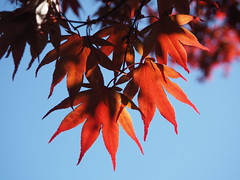 Red fingers (pilechko) Tags: light red sky color leaves japanese maple nj lambertville