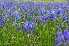 _L3A7253 (mnmphotollc) Tags: us washington unitedstates rainier blueflower