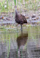20160429-_74P2805.jpg (Lake Worth) Tags: bird nature birds animal animals florida outdoor wildlife wing feathers wetlands everglades waterbirds southflorida birdwatcher canonef500mmf4lisiiusm canoneos1dx