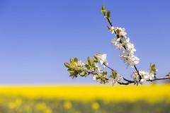 When spring once was (Fabien Husslein) Tags: ocean flower fleur spring luxembourg arbre printemps champ rapeseed branche colza letzebuerg arbuste frisange freiseng