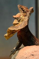 chlamydosaurus kingii (Joachim S. Mller) Tags: animal germany deutschland zoo hessen reptile lizard darmstadt tier vivarium echse reptil eidechse agame frilledlizard frilleddragon chlamydosauruskingii frillneckedlizard chlamydosaurus kragenechse