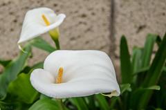 Calas (inma F) Tags: parque flores blanco cuento flor jardin colores bosque cala lalaguna