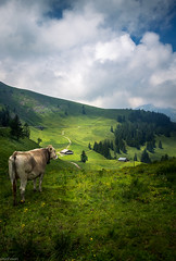 Cow Overviewing The Swiss Mountains (YuriFineart) Tags: mountains color green art standing switzerland cow waiting looking hiking swiss fineart watching fine meadow yuri overlooking grassland overviewing yurifineart
