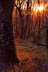 The Gilded Forest (Stacey Legge Photography) Tags: wood trees sunset bluebells fairytale forest landscape gold dramatic ivy fantasy serene magical lastlight staceylegge