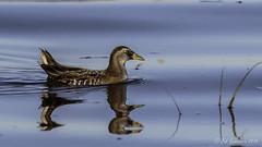 Reflections - Sora (Bob Gunderson) Tags: california birds northerncalifornia rails eastbay sora alamedacounty porzanacarolina arrowheadmarsh canoneos7dmarkii