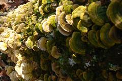 Tree fungus (Throwingbull) Tags: park mountain mountains tree skyline drive virginia hiking dr scenic 8 hike trail national va fungus hiker recreation hikers appalachian shenandoah sec eight section