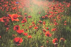 Meadow (kinga.lubawa) Tags: flowers flower colors canon sommer meadow sensual kwiaty kwiat kolory lato kolorowe soneczny sonecznie