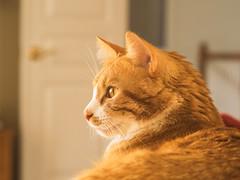 3/366 (Garen M.) Tags: cats jerry kittens nate 3365 companionanimals olympusomdem1 zuiko60mmf28macro