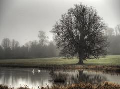 Foggy Morning, Avington Park, Hampshire (neilalderney123) Tags: lake tree water fog swan foggy hampshire winchester avingtonpark avington olumpusuk 2016neilhoward weathereolympus