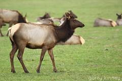 Elk Herd (Garry's lens....) Tags: nature colors beauty outdoors pretty elk herd picmonkey