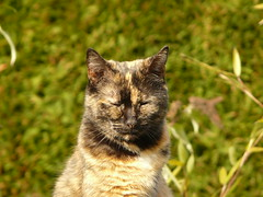 Chiffonnette (Lau (Fripy) Trs absente cette semaine...) Tags: cat coth bestofcats chiffonnette vg~catsgallery