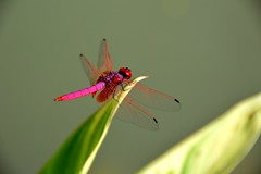 Red Dragonfly (Seventh Heaven Photography) Tags: pink red macro gardens insect botanical singapore asia dragonfly bokeh nikond3200 superfotos spitzenfotos