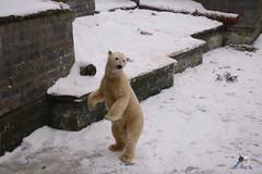 Eisbr Fiete im Zoo Rostock 23.01.2016  010 (Fruehlingsstern) Tags: vienna zoo polarbear vilma eisbr erdmnnchen fiete zoorostock geparden baumknguru canoneos750 tamron16300