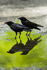 Northwestern Crows at Rain Puddle in Seattle's Green Lake Park (Lee Rentz) Tags: seattle wild usa green bird nature water rain animal america reflections puddle reflecting spring unitedstates northwest path wildlife drinking greenlake reflected trail pacificnorthwest northamerica crow crows behavior pathway corvuscaurinus greenlakepark washingfood