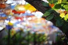 DSC07516 (ha3633) Tags: jan f18 yashica glassflower 2016 yashinon 45cm a7r