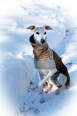 Blizzard 2016 (DiamondBonz) Tags: pet snow hound handsome whippet blizzard spanky