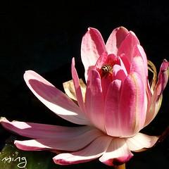 (moon56696) Tags: flower macro     macrodreams