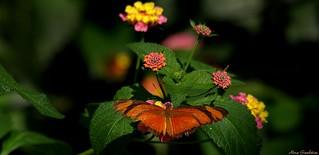 Júlia | Julia Butterfly (Dryas iulia)