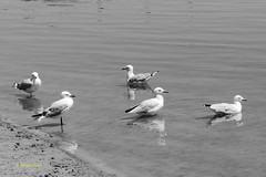 reflections (1) (margaretpaul - back home, recovering) Tags: bw seagulls reflections blackwhite gulls