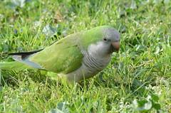Pappagalli a Roma (m.genca) Tags: park city italy rome roma green nature birds free pappagallo uccello terme caracalla