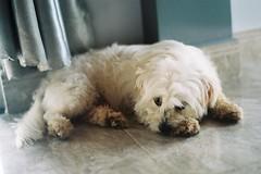 Son tnh k (daikcaxomchua) Tags: dog fuji cutie poppy dalat c200 minoltasrt200 sontanhky