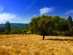 Nature (Hernan Santos) Tags: chile naturaleza tree nature rbol iphone curepto iphone6