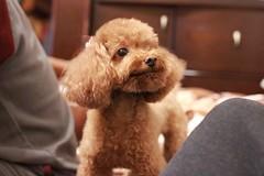 IMG_6619 (Tatsu.C) Tags: life dog holiday home 35mm canon hometown taiwan lifestyle sigma yilan 宜蘭 狗 老家 隨拍 doglife 回家 貴賓狗 s35 sigma35mm 紅貴賓 定焦鏡 canoneos550d