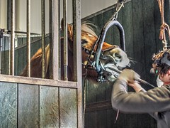 P1290073 (gill4kleuren - 11 ml views) Tags: horse sarah dentist haflinger tandarts 2015